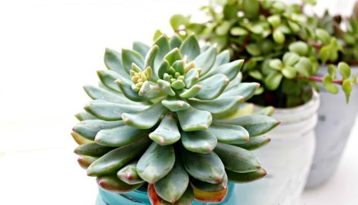 Mason Jar Succulents Planters ~ Indoor Gardening Idea
