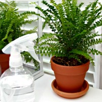 How To Keep Ferns From Turning Brown ~ Tip of the Day