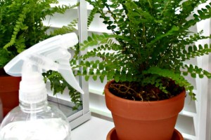 How-to-keep-ferns-healthy