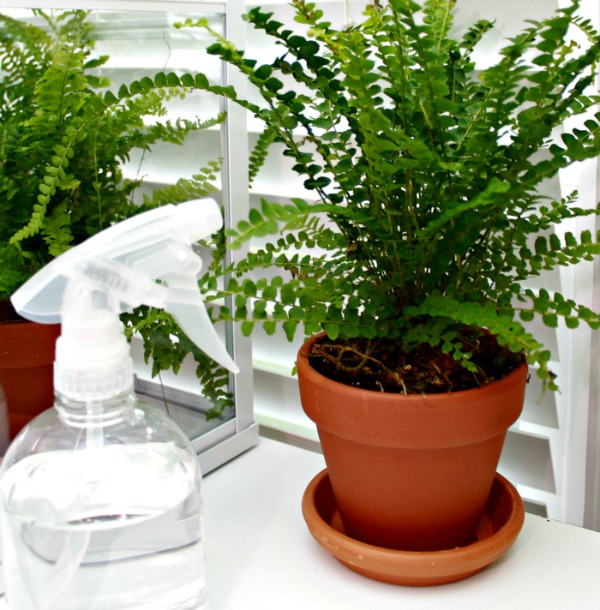 how to keep ferns healthy