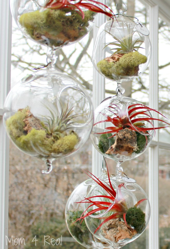 how to grow and care for air plants tillandsia mom 4 real. Black Bedroom Furniture Sets. Home Design Ideas