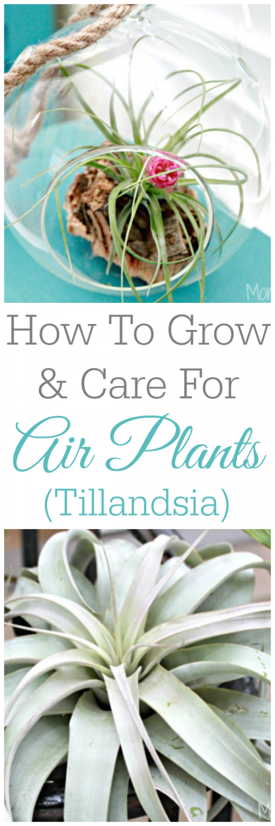 How To Grow And Care For Tillandsia or Air Plants