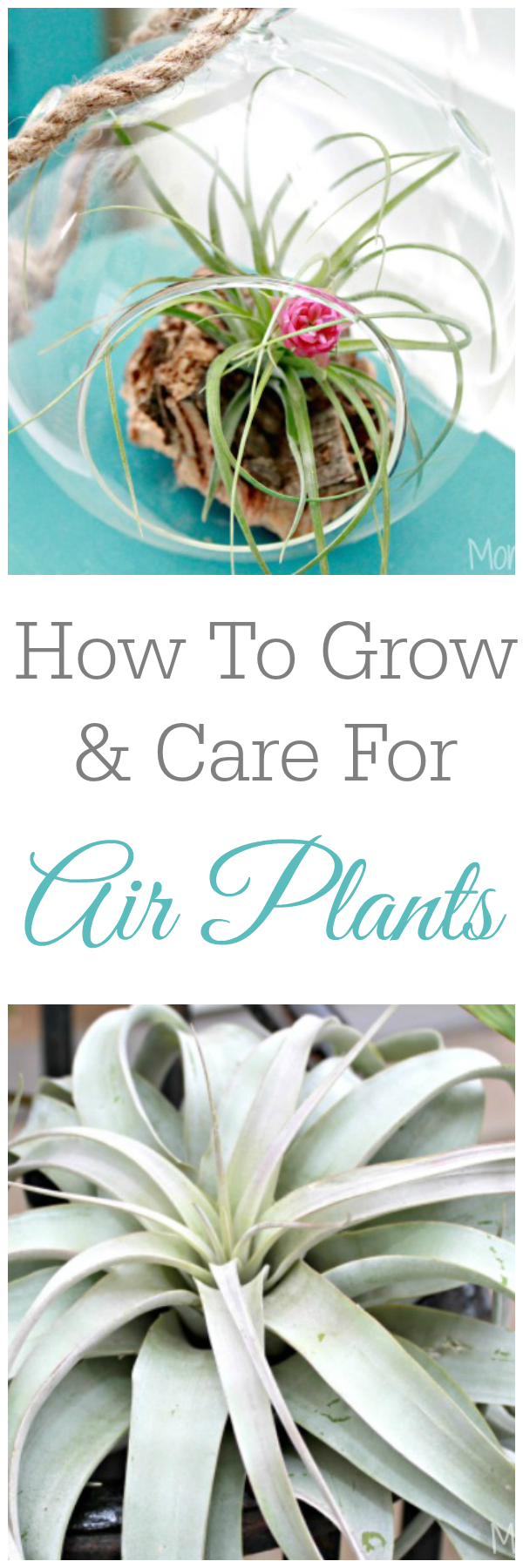 How To Grow and Care For Air Plants or Tillandsia