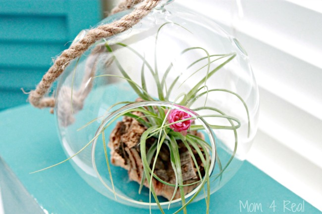 How To Grow And Care For Air Plants – Tillandsia