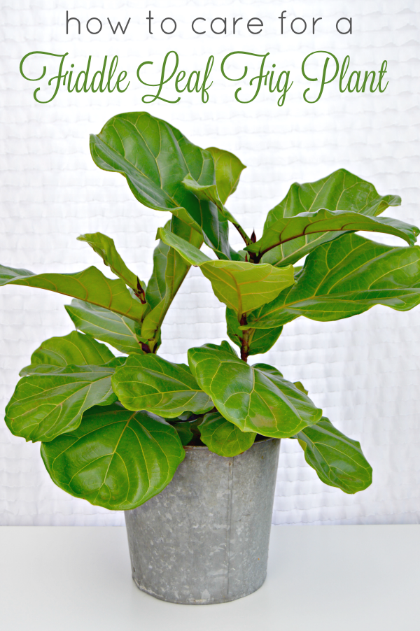 How-to-care-for-fiddle-leaf-fig-house-plant