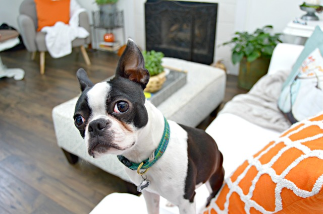 boston terrier - mom4real.com