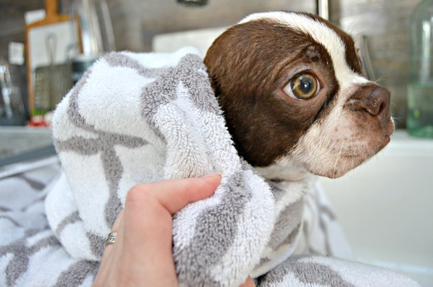 Boston terrier puppy with towel