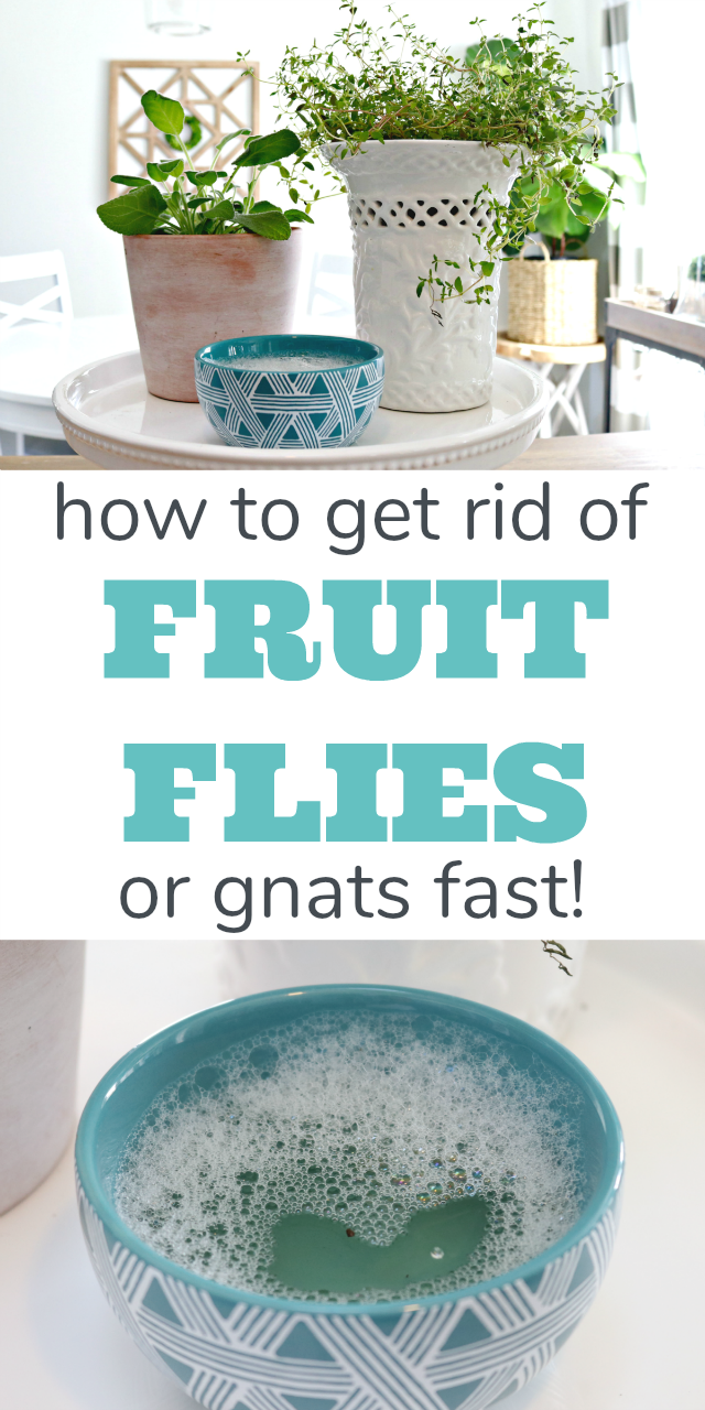 How to get rid of fruit flies or gnats fast